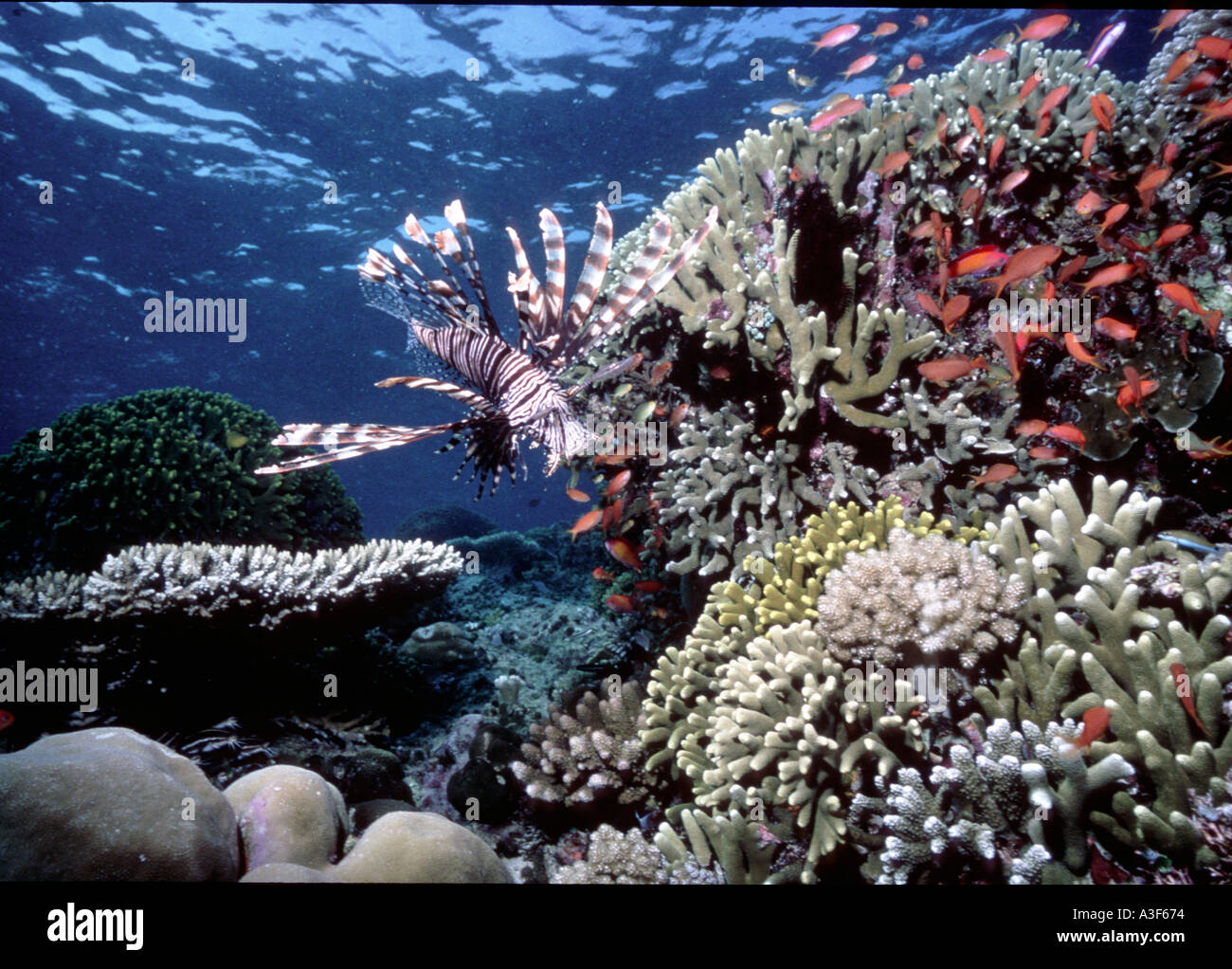 underwater, Lionfish in the corals Stock Photo
