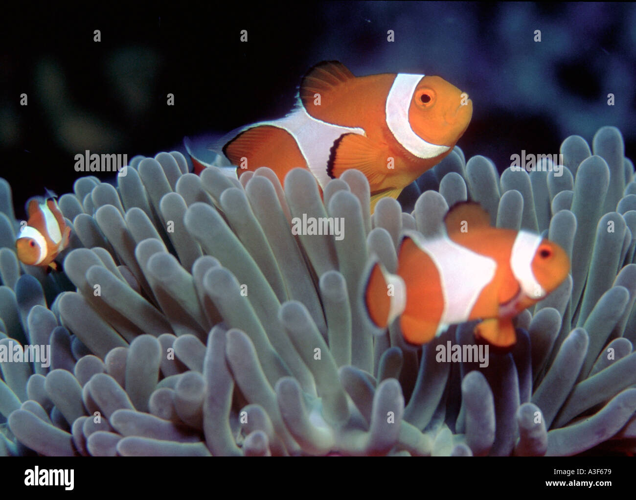 underwater, clownfishes in an anemone Stock Photo