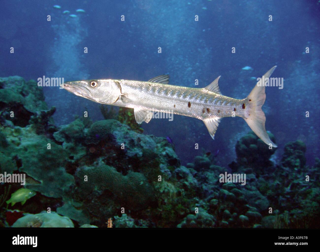 underwater, Barracuda, cayman islands Stock Photo