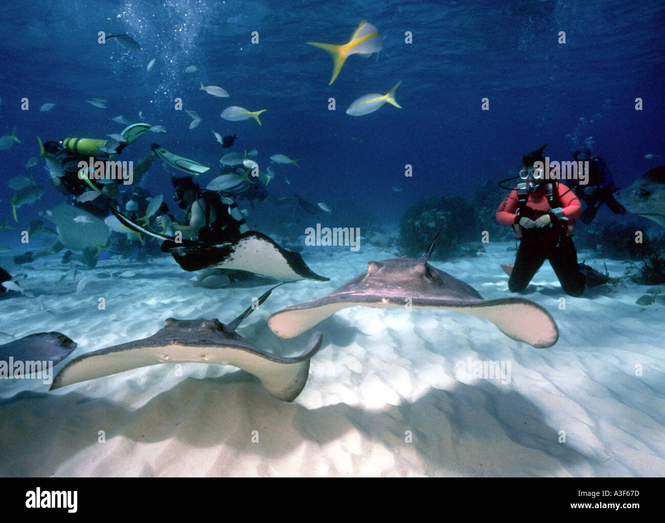 underwater, stingray city, cayman islands, stingrays, diverStock Photo