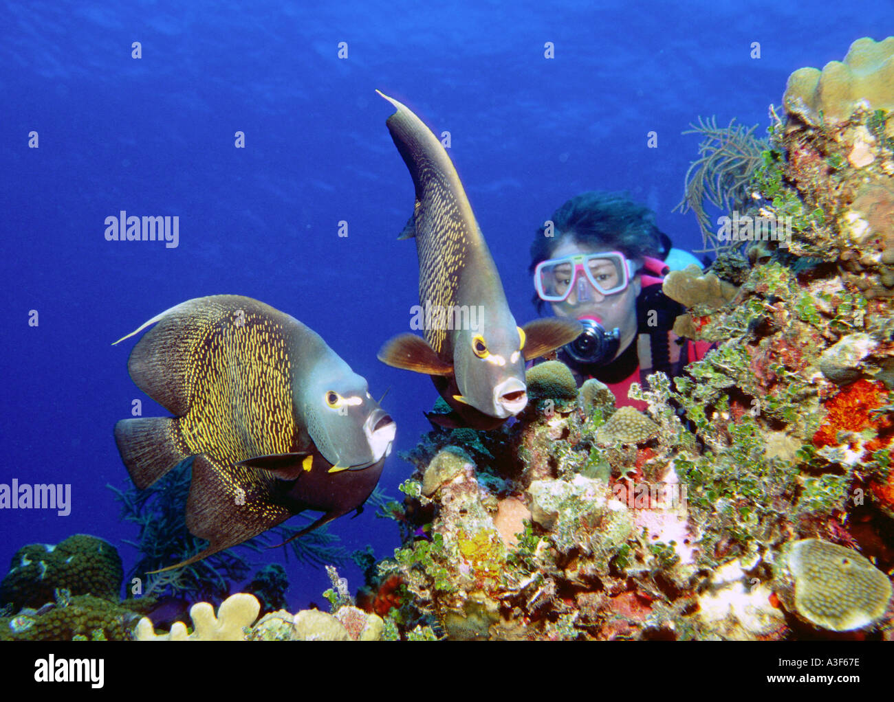 underwater caribbean reeflife, Diver and 2 french angel fishesStock Photo