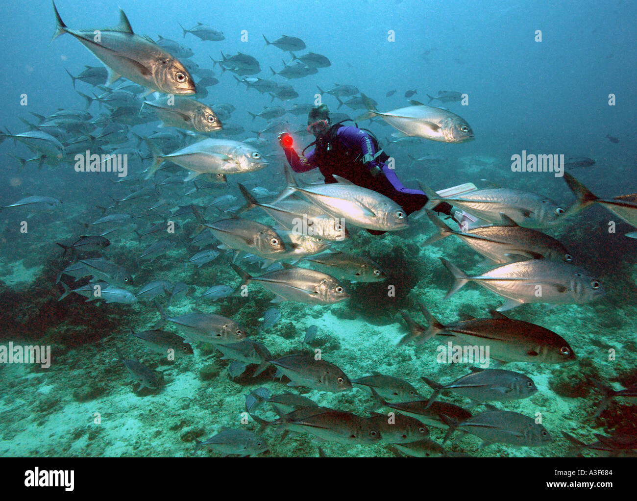 underwater, Schooling Jacks in Sipadan Stock Photo