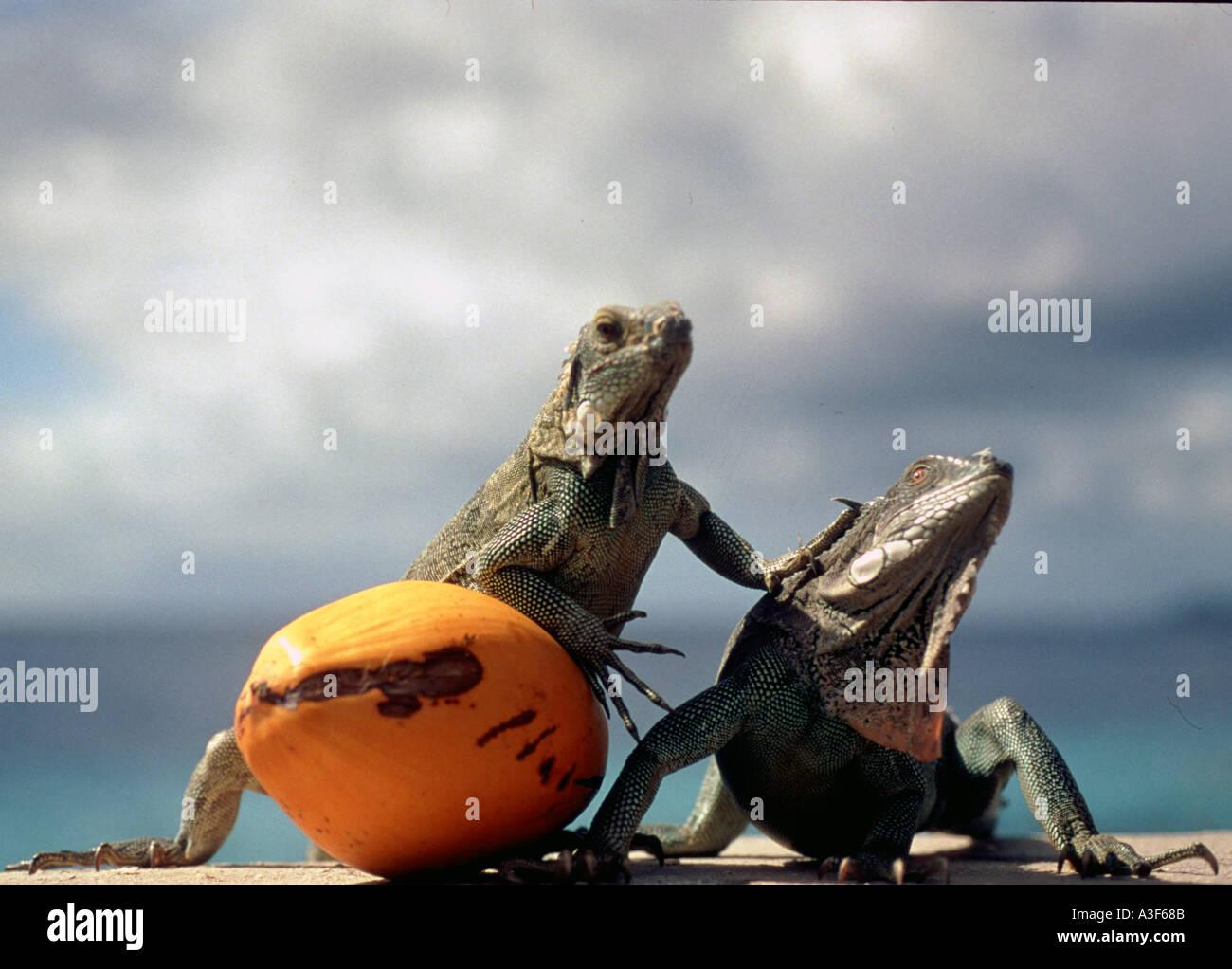 Caribbean, Lizards / Iguanas in Bonaire Stock Photo