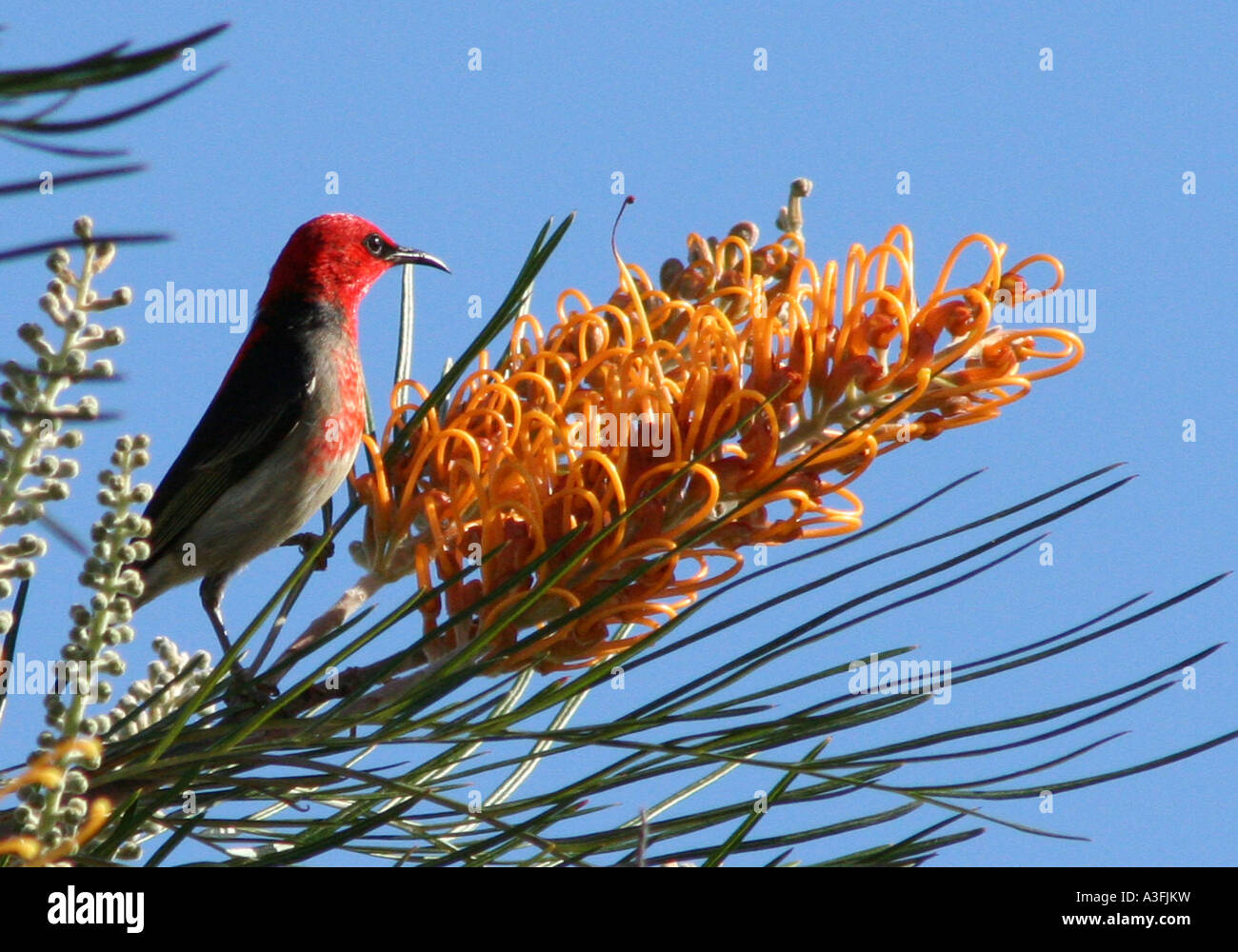 A SCARLET HONEYEATER FEEDING ON A GREVILLEA TREE BAPDA9090 - Stock Image