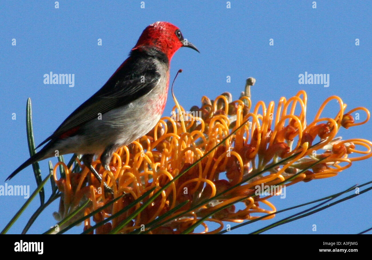 A SCARLET HONEYEATER FEEDING ON A GREVILLEA TREE BAPDA9092 - Stock Image