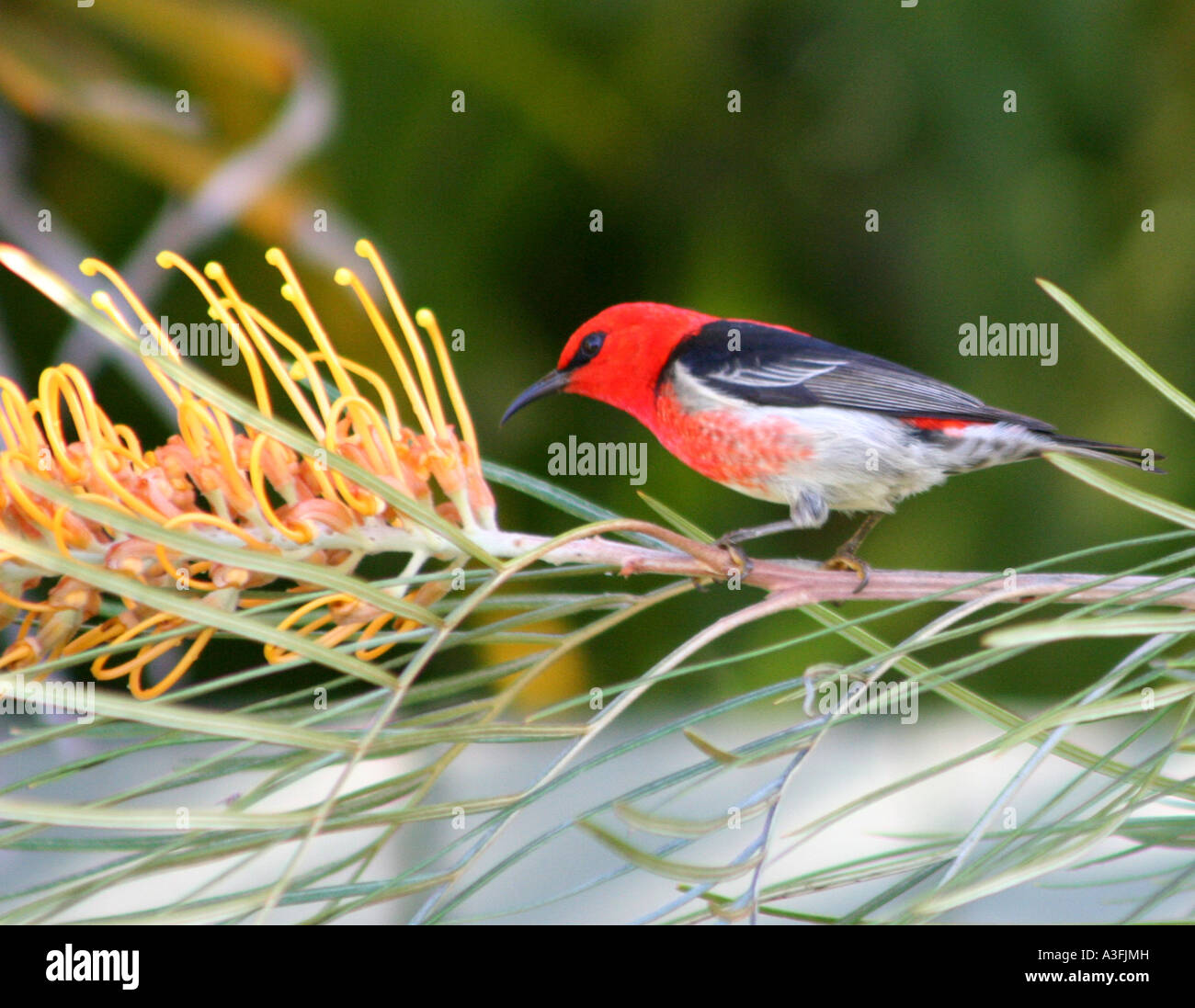 A SCARLET HONEYEATER FEEDING ON A GREVILLEA TREE BAPDA9093 - Stock Image