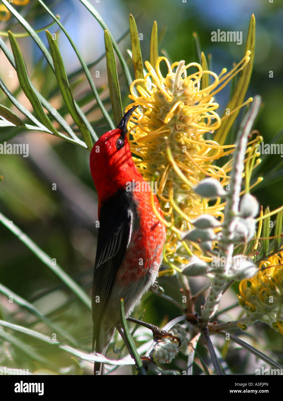 A SCARLET HONEYEATER FEEDING ON GREVILLEA TREES BAPDA9125 - Stock Image