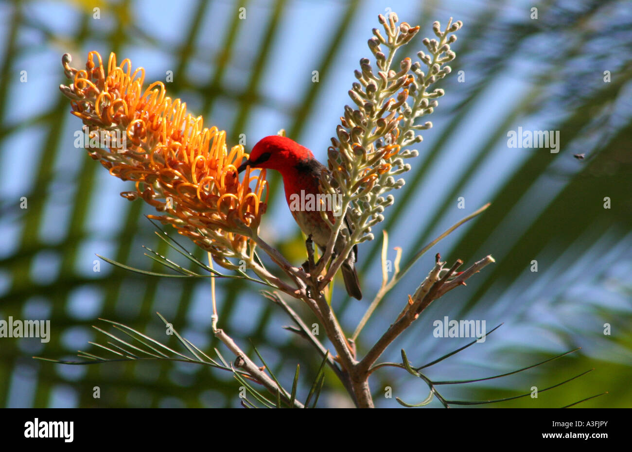 A SCARLET HONEYEATER FEEDING ON GREVILLEA TREES BAPDa9131 - Stock Image