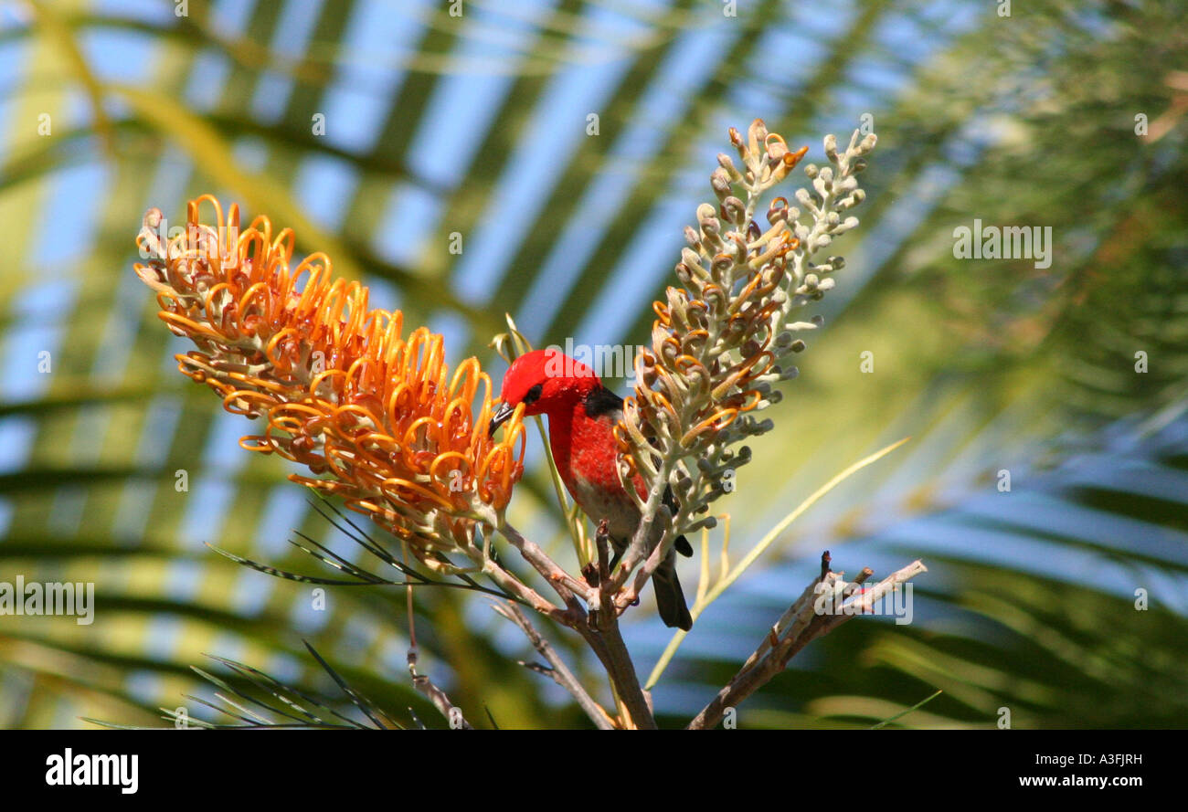A SCARLET HONEYEATER FEEDING ON GREVILLEA TREES BAPDA9135 - Stock Image