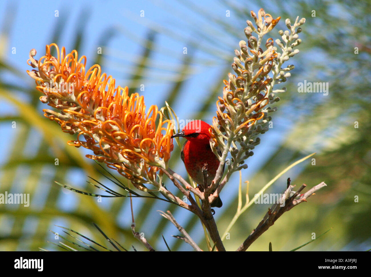 A SCARLET HONEYEATER FEEDING ON GREVILLEA TREES BAPDA9137 - Stock Image