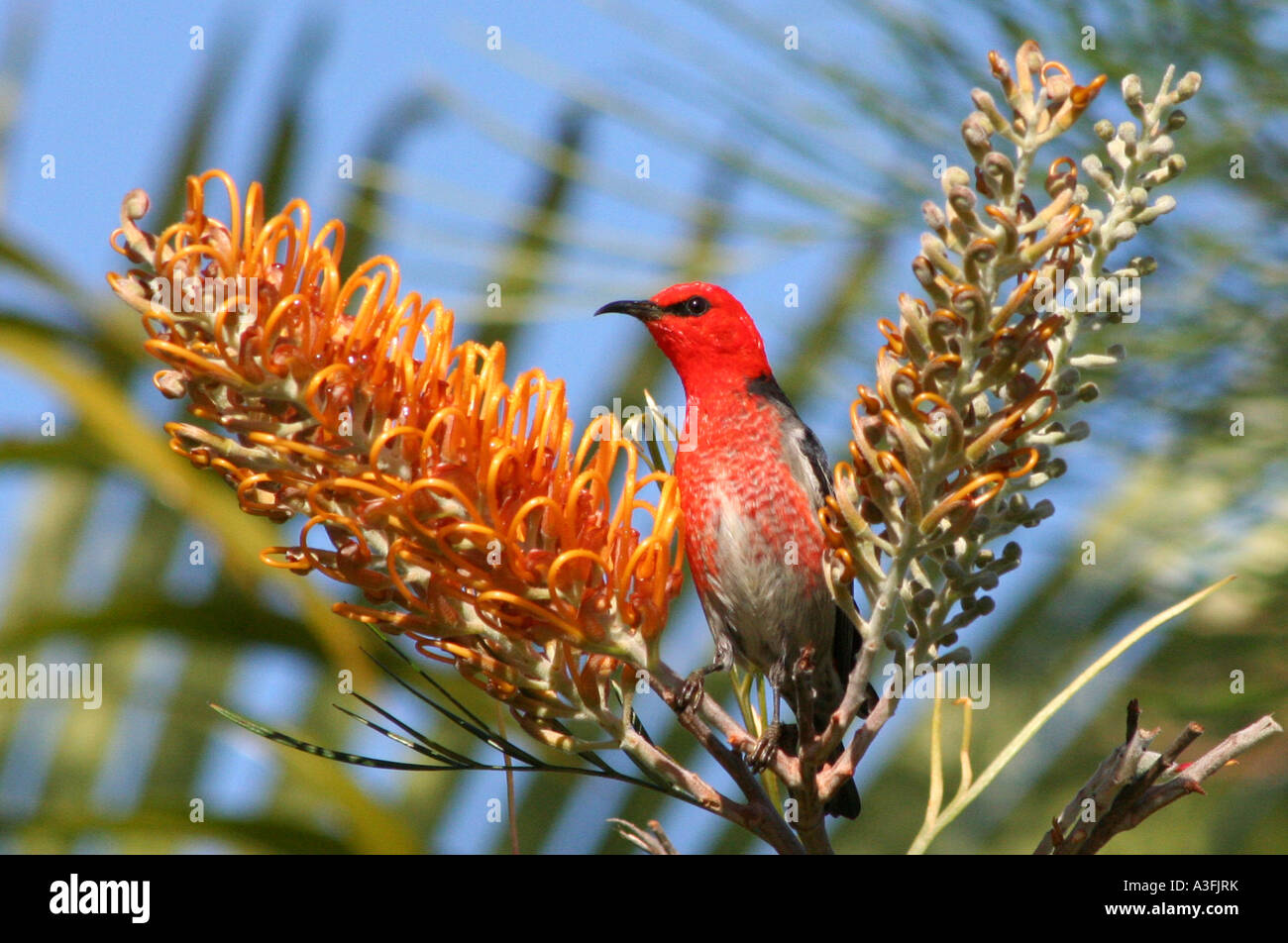 A SCARLET HONEYEATER FEEDING ON GREVILLEA TREES BAPDA9138 - Stock Image