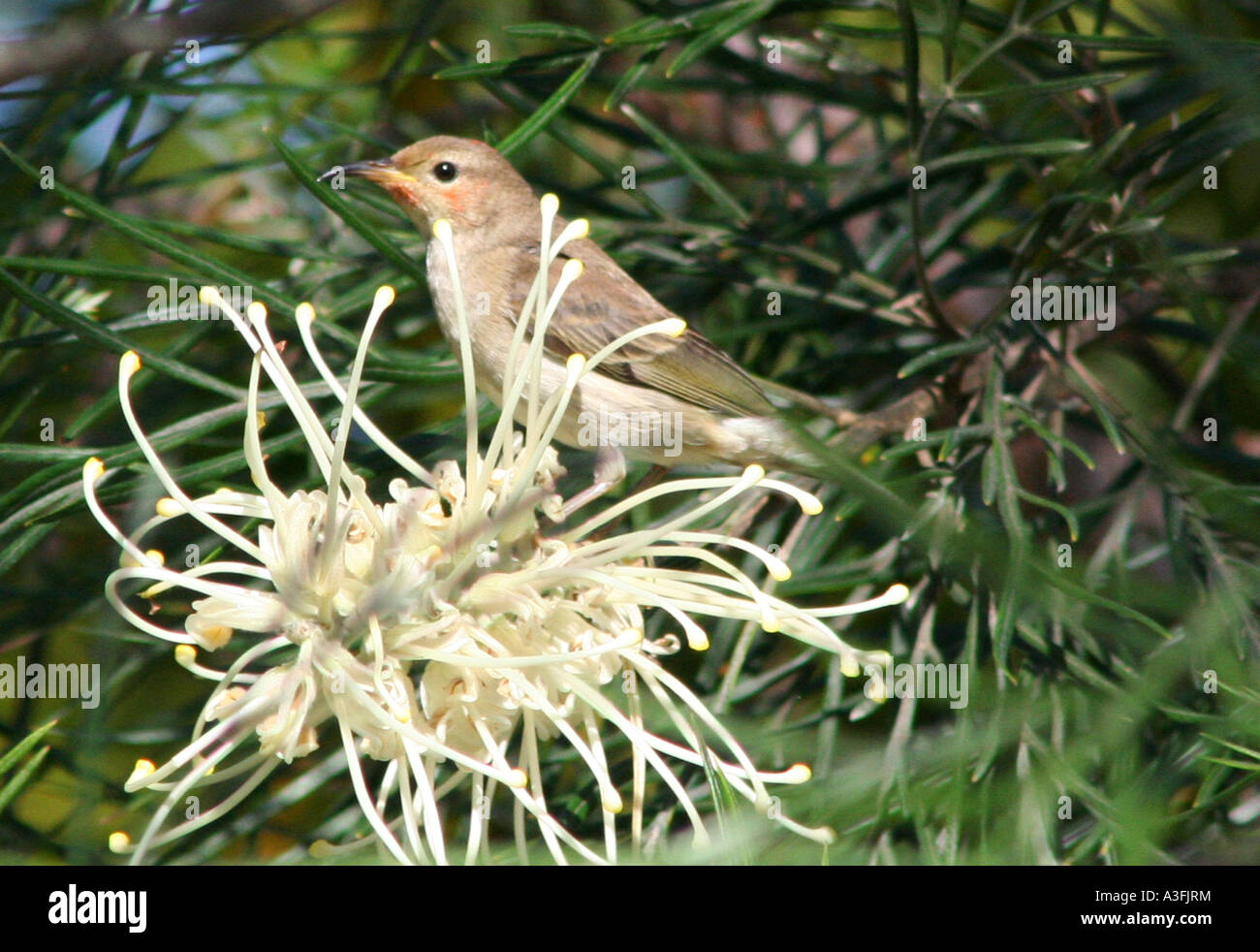 A FEMALE SCARLET HONEYEATER FEEDING ON GREVILLEA TREES BAPDA9140 - Stock Image