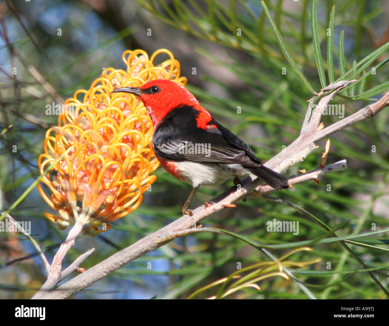 A SCARLET HONEYEATER FEEDING ON GREVILLEA TREES BAPDA9151 - Stock Image
