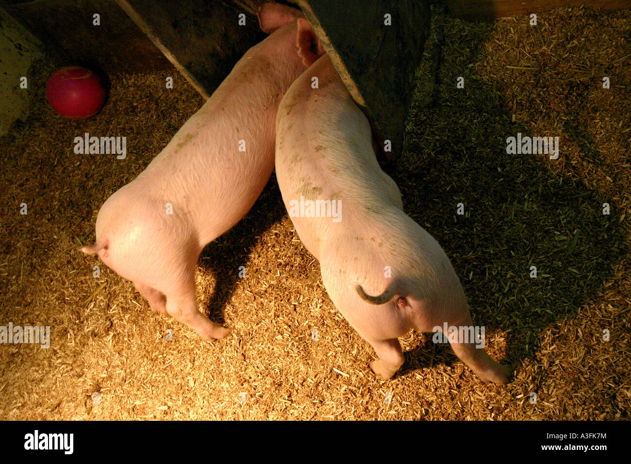 TWO PIGS WITH THEIR BUMS STUCK OUT EATING WAGGING THEIR TAILS HORIZONTAL  BAPDB9044 Stock Photo