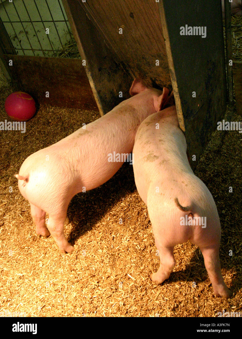 TWO PIGS WITH THEIR BUMS STUCK OUT EATING WAGGING THEIR TAILS  VERTICAL BAPDB9045 - Stock Image