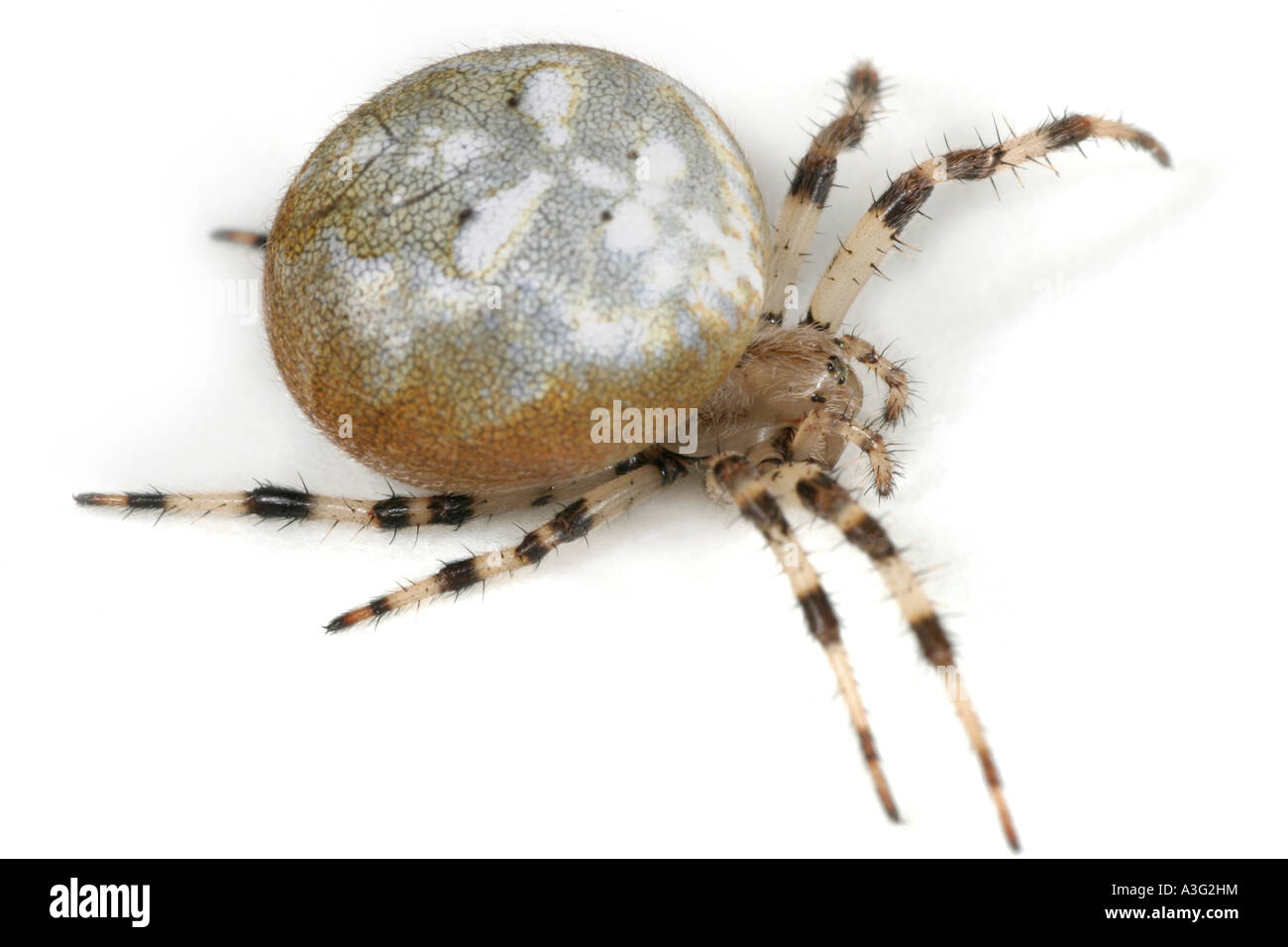 Araneus Quadratus spider on white background. Four Spot Orbweaver Stock Photo