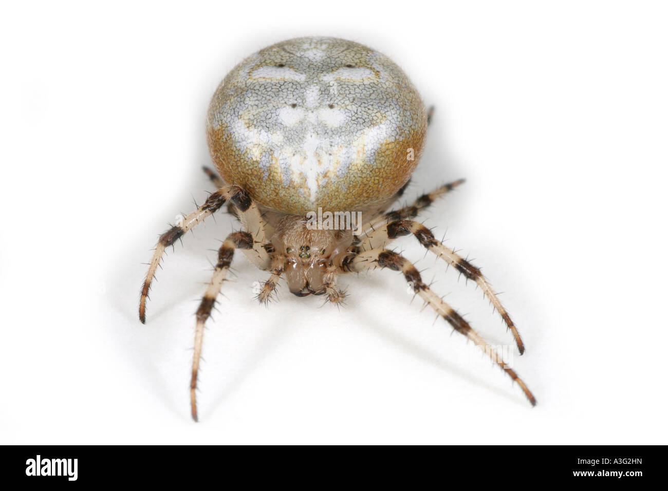 Araneus Quadratus spider on white background. Four Spot Orbweaver. Stock Photo
