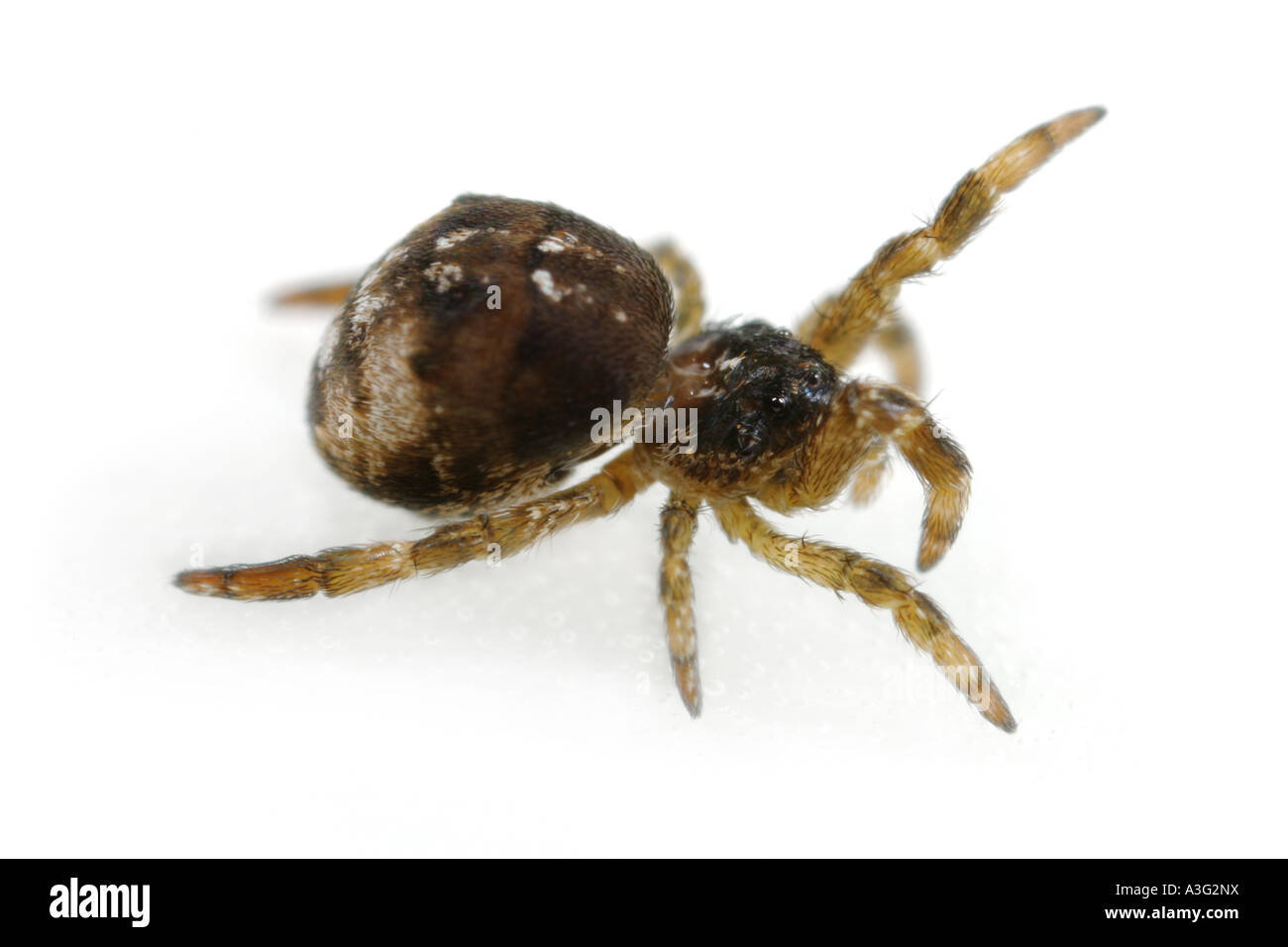 Hyptiotes paradoxus spider, family Uloboridae, on White Background. - Stock Image