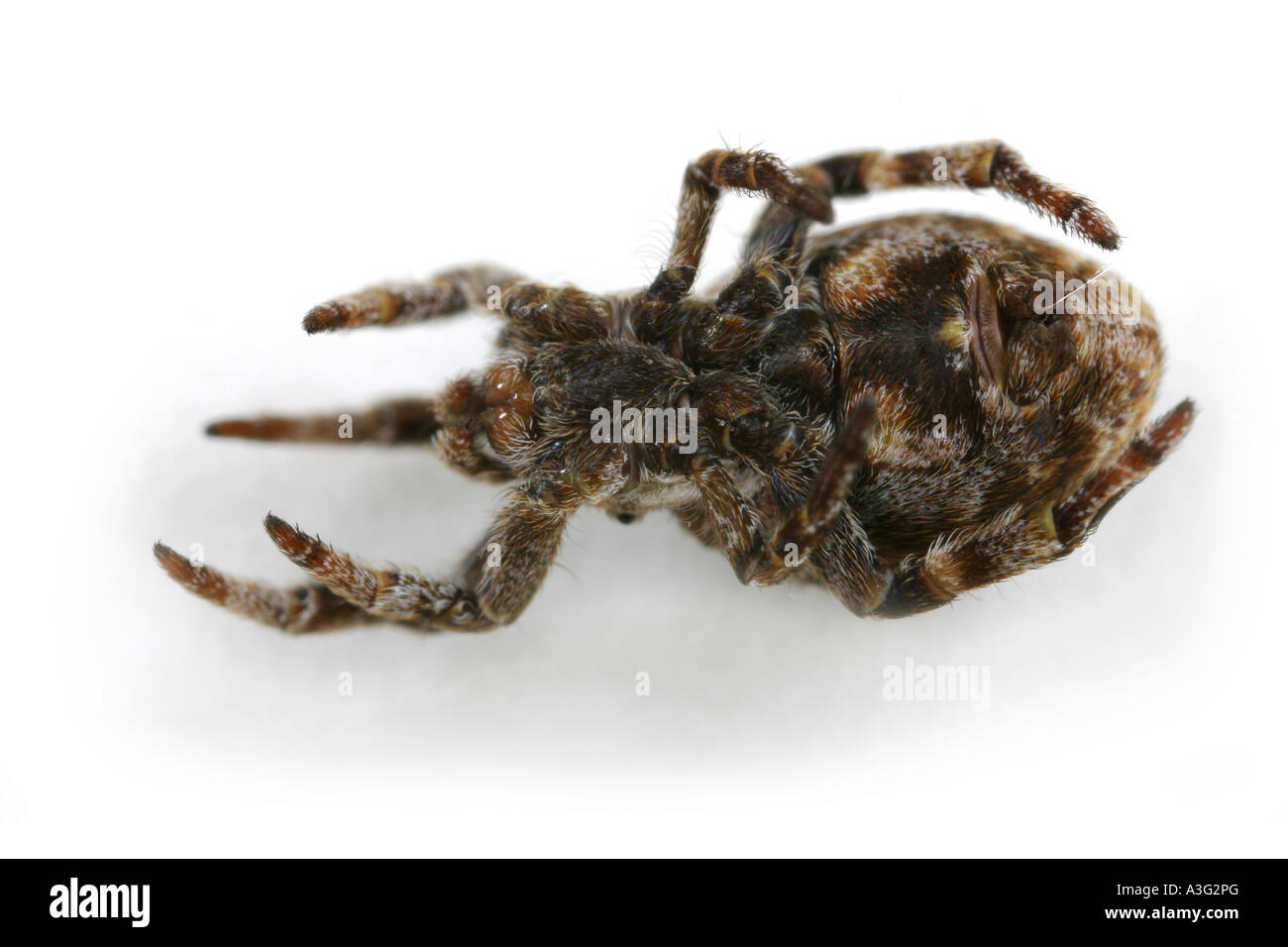 Hyptiotes paradoxus spider, family Uloboridae, on White Background. Hanging upside down. Stock Photo