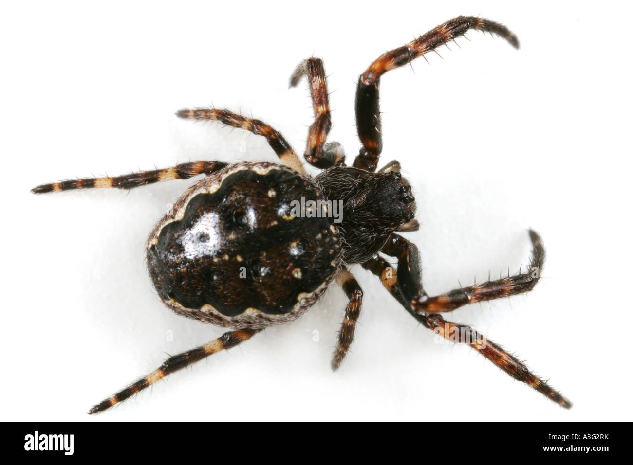 A Nuctenea umbratica spider, Araneidae family, on white background. - Stock Image