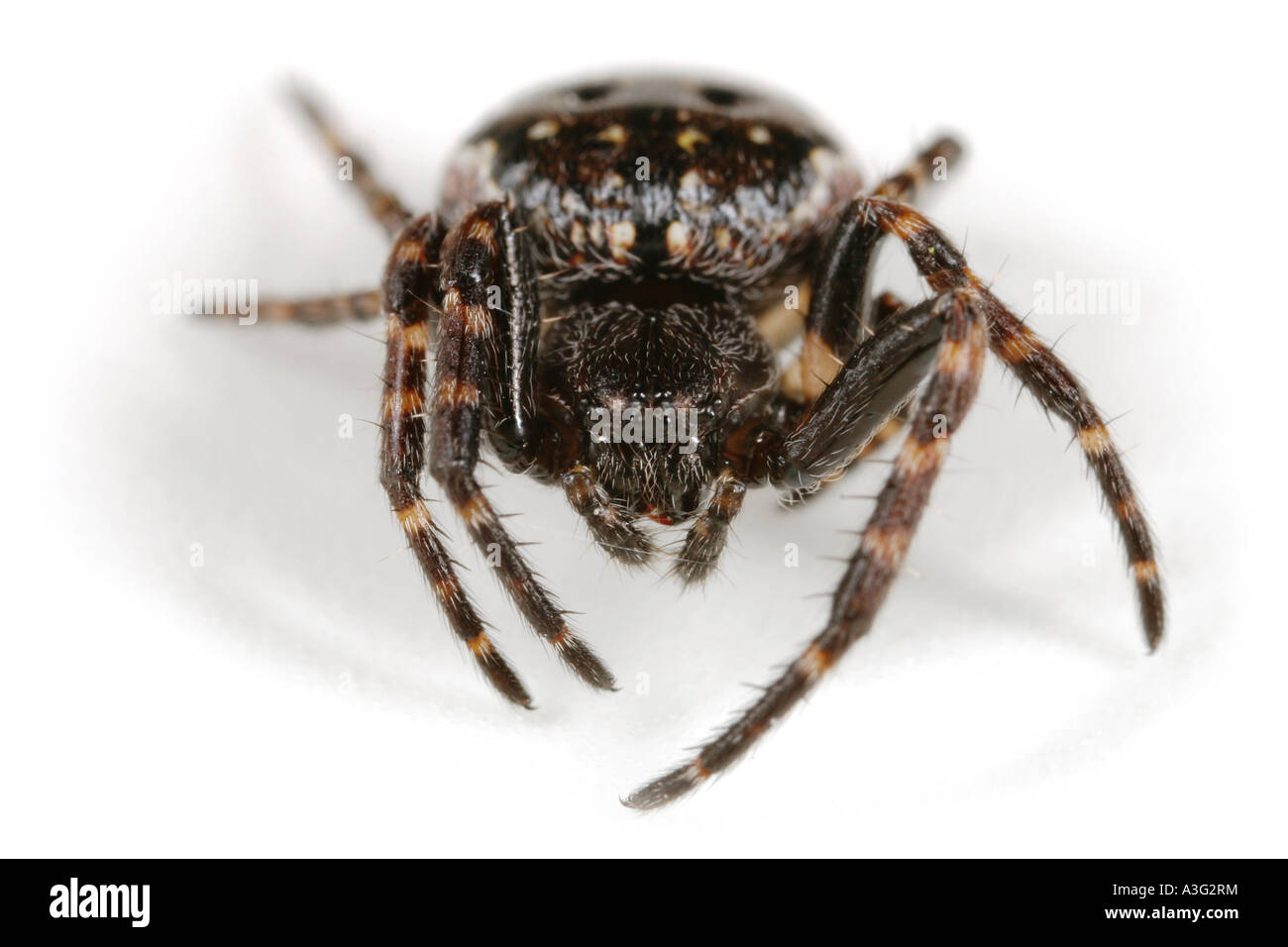 A Nuctenea umbratica spider, Araneidae family, on white background. Head on view. - Stock Image