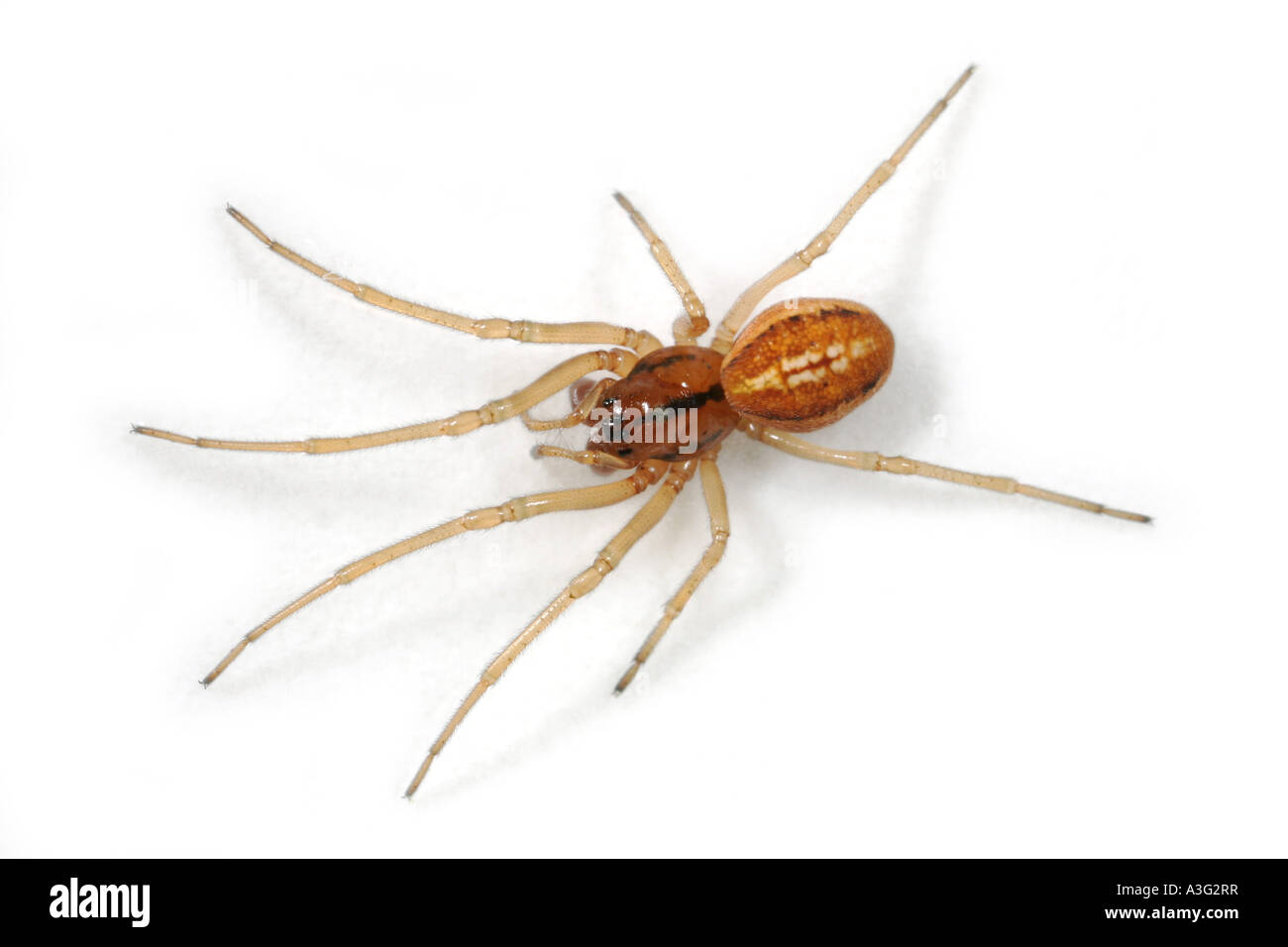 A Pachygnatha clercki spider, Tetragnathidae family, on white background. Stock Photo