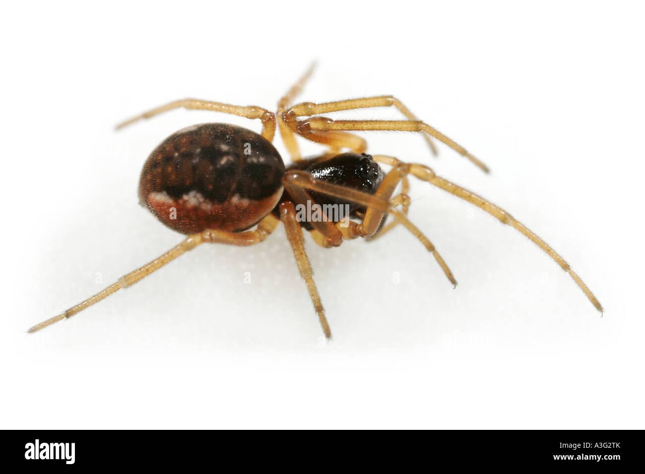 A Pachygnatha degeeri spider, Tetragnathidae family, on white background. Stock Photo