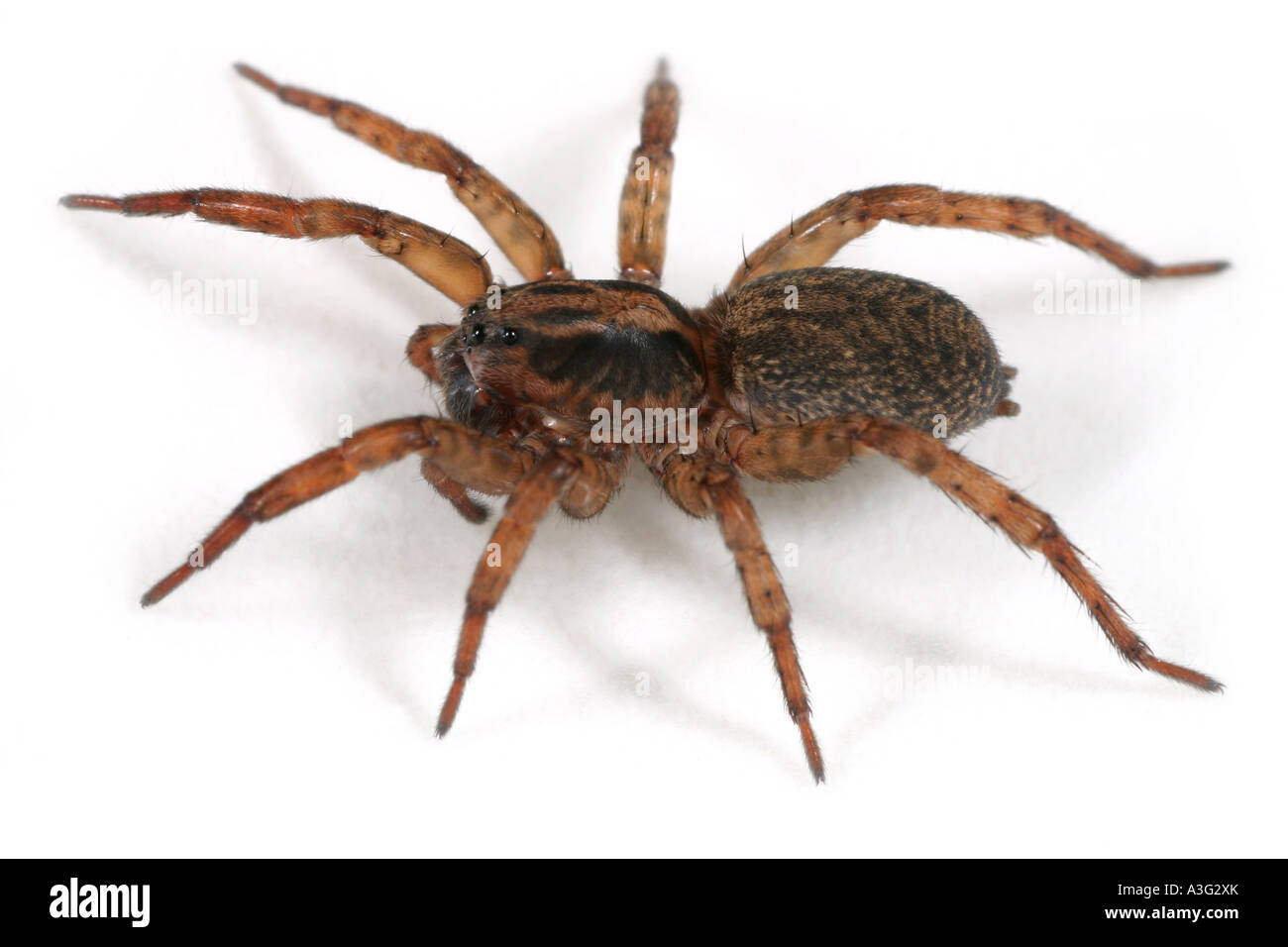 Close up of a Wolf Spider, Trochosa terricola, on white background - Stock Image