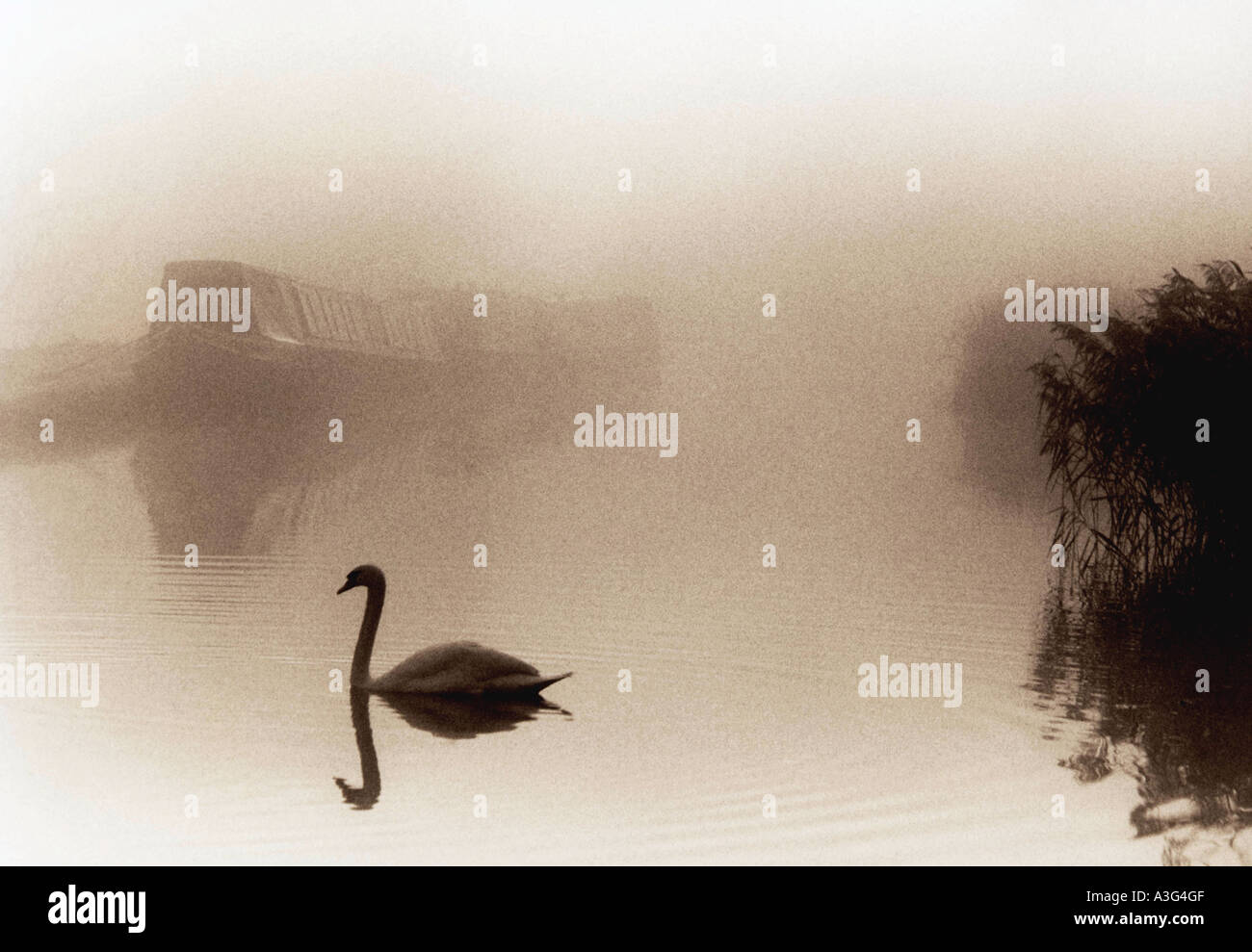A swan is reflected in the still water as it swims across the Oxford canal through the mist. - Stock Image