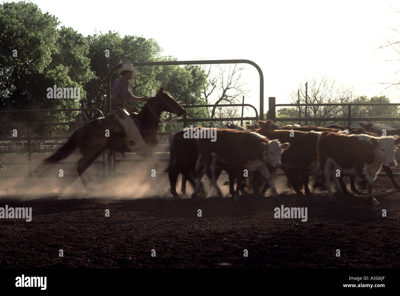 Texas cowhand on a sorrel cutting horse pens part of a herd of cattle in a dusty corral on a ranch. - Stock Image