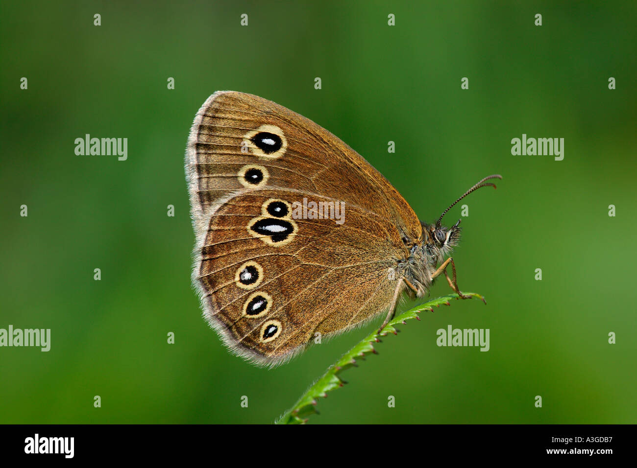 Ringlet Aphantopus hyperantus lancia later at rest potton bedfordshire - Stock Image