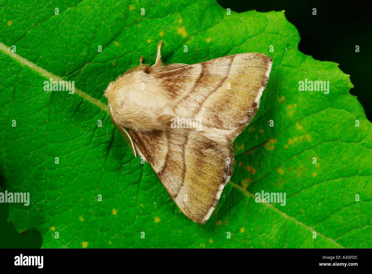 The Lackey (Malacosoma neustria) at rest on leaf potton bedfordshire - Stock Image