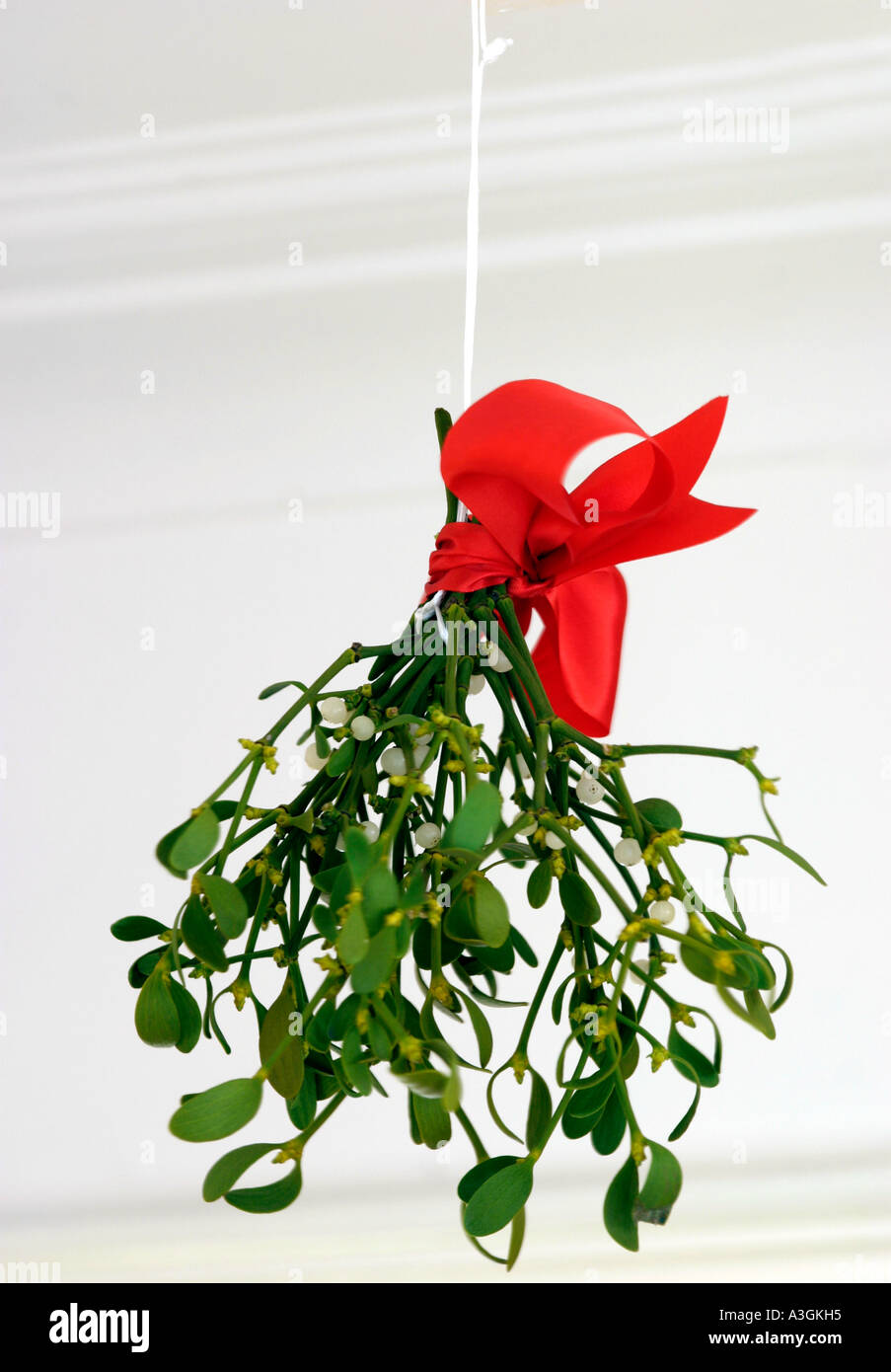 mistletoe traditional christmas decoration viscum album parasitic evergreen shrub