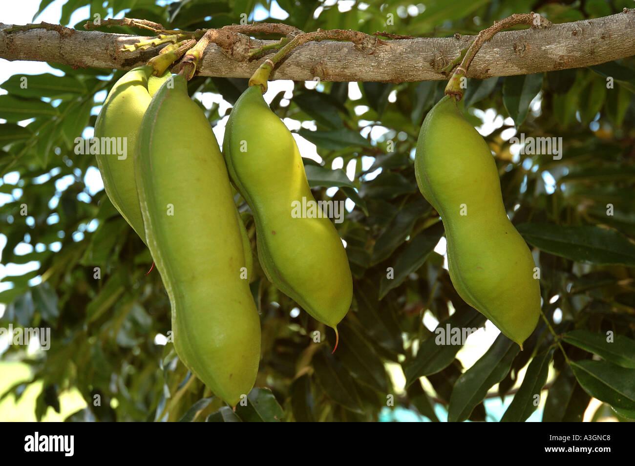 Black Bean Seed Pods Castamospermum Australe Rainforest