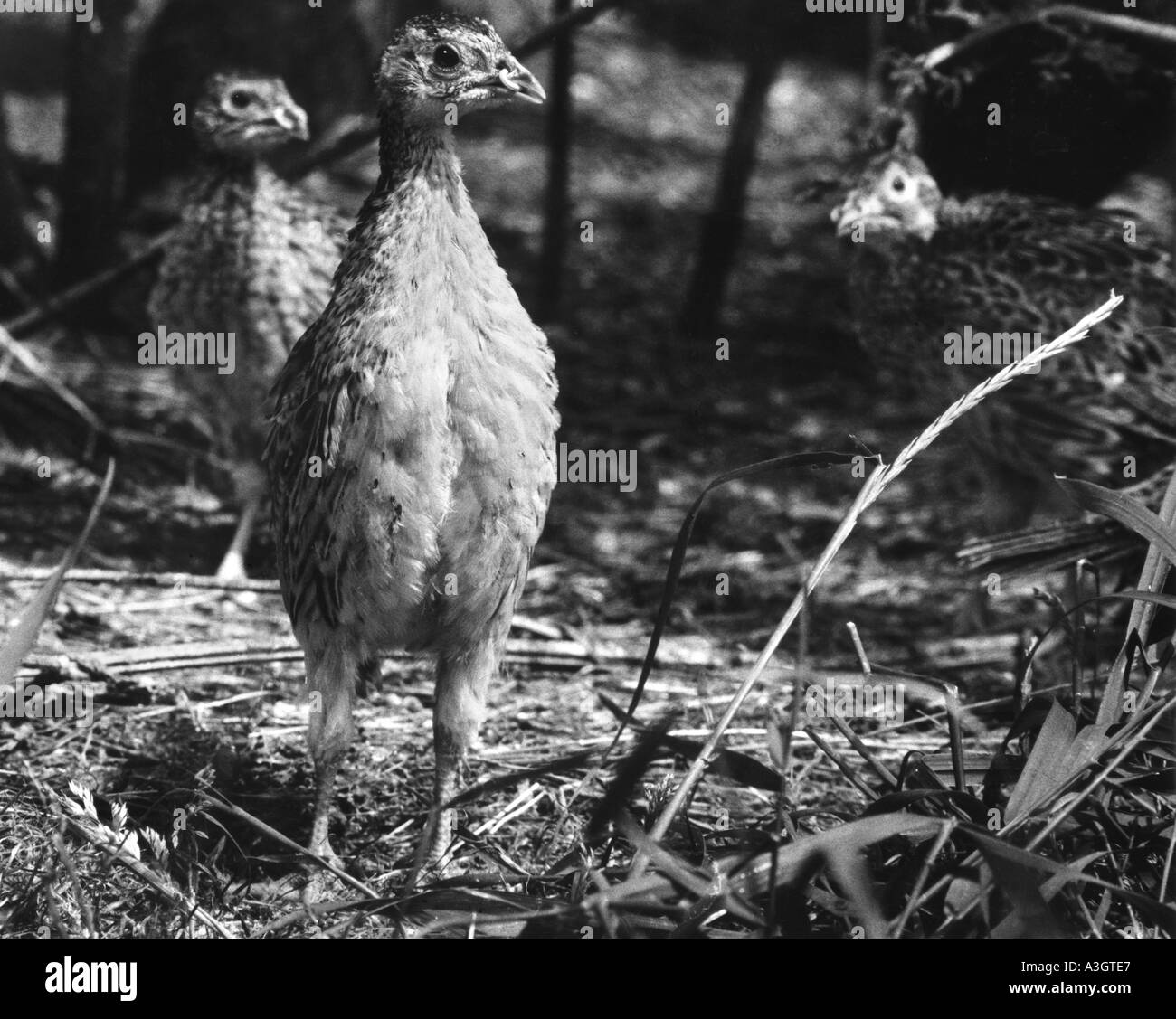 Young Pheasant chicks in breeding run on shooting estate with bits in the beak to stop feather pecking - Stock Image