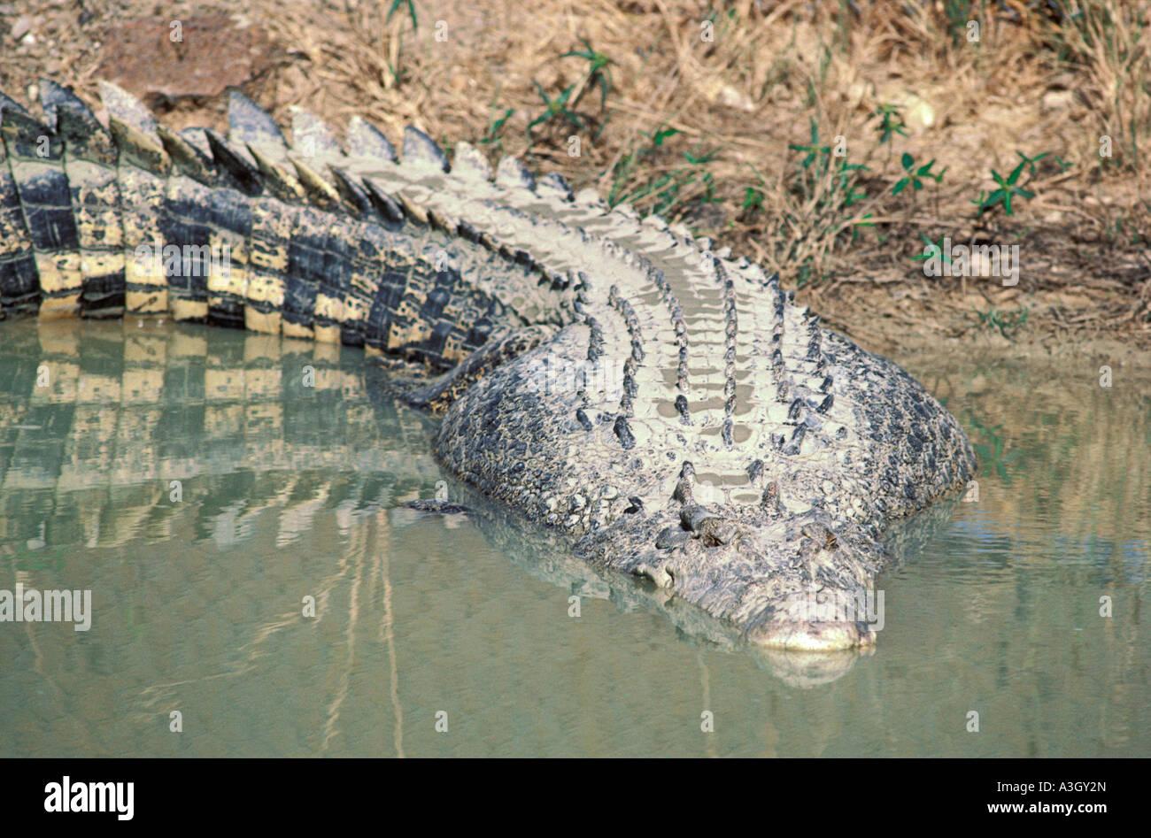 Saltwater Crocodile or Estuarine Crocodile Crocodylus porosus Kakadu National Park Northern Territory Australia - Stock Image