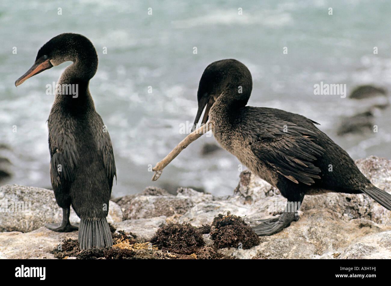 Flightless Galapagos Cormorants Phalacrocorax harrisi Galapagos Islands - Stock Image