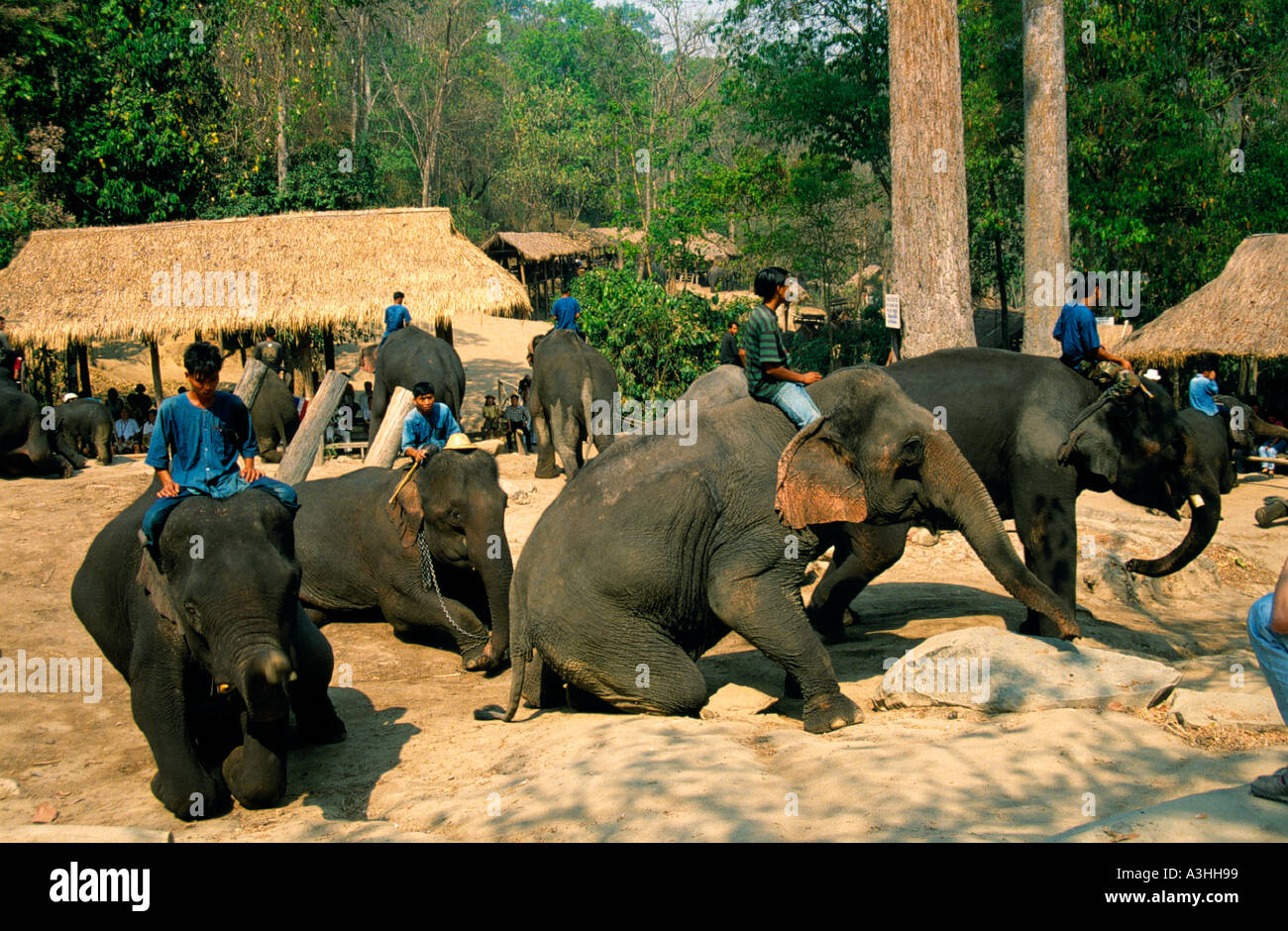 chiang dao elephant camp near city of chiang mai thailand editorial use only - Stock Image