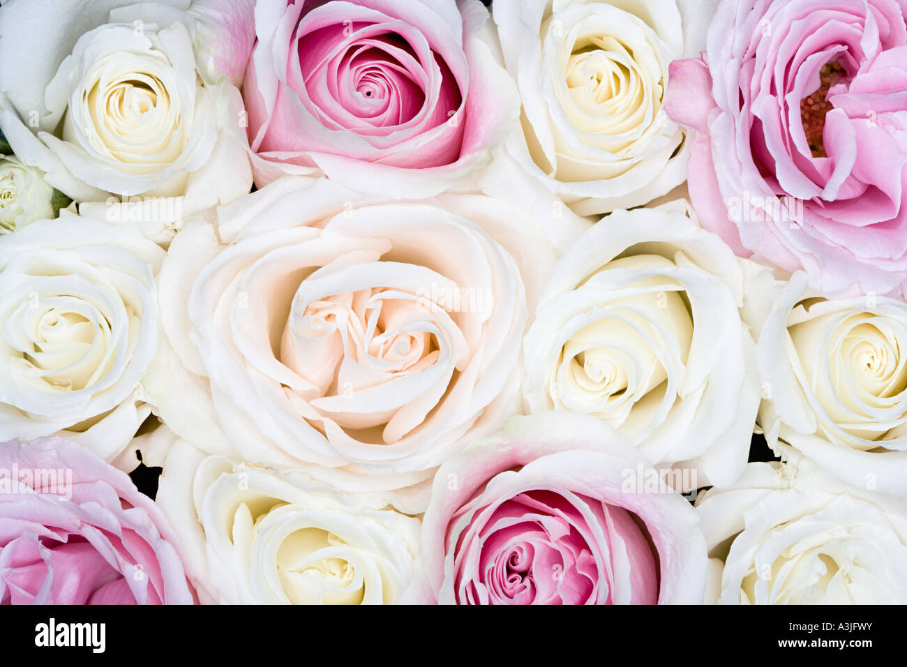 Roses - Stock Image