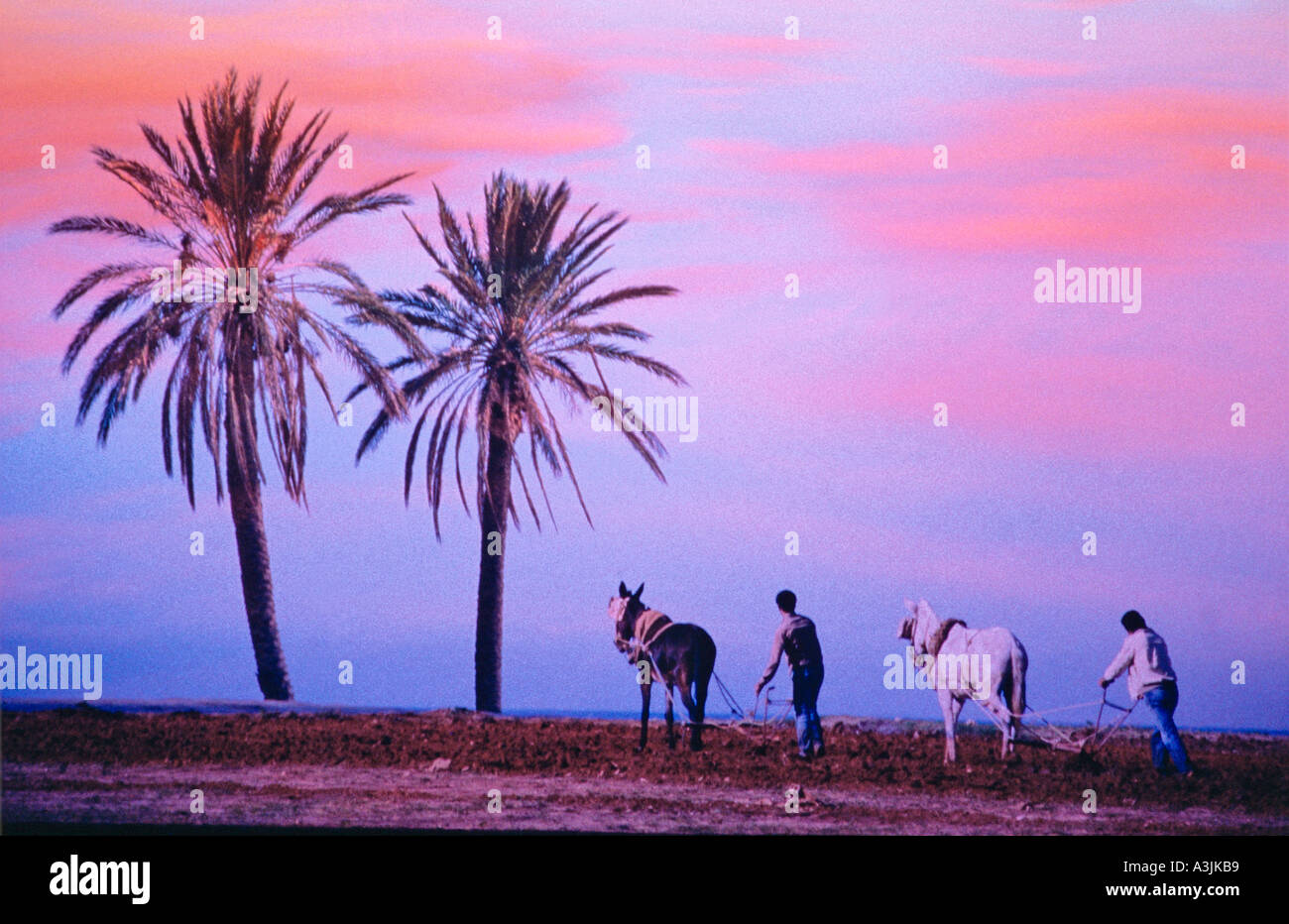 farmers ploughing at evening borderland algeria tunesia editorial use only - Stock Image