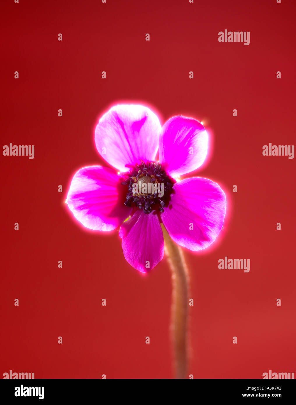 A Single Pink flower on a Red Background portrait format with a solarised effect - Stock Image