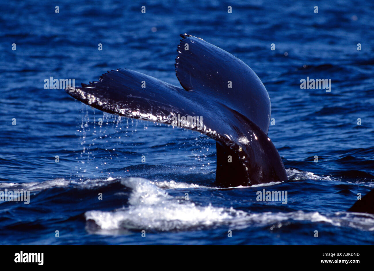 Spermwhale (Physeter catodon) starting to dive, Andenes, Norway - Stock Image