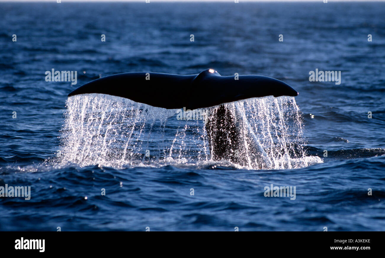 Spermwhale (Physeter catodon) starting to dive, Andenes, Norway, North Atlantic, Barentsea A spermwhale bull is starting to dive - Stock Image