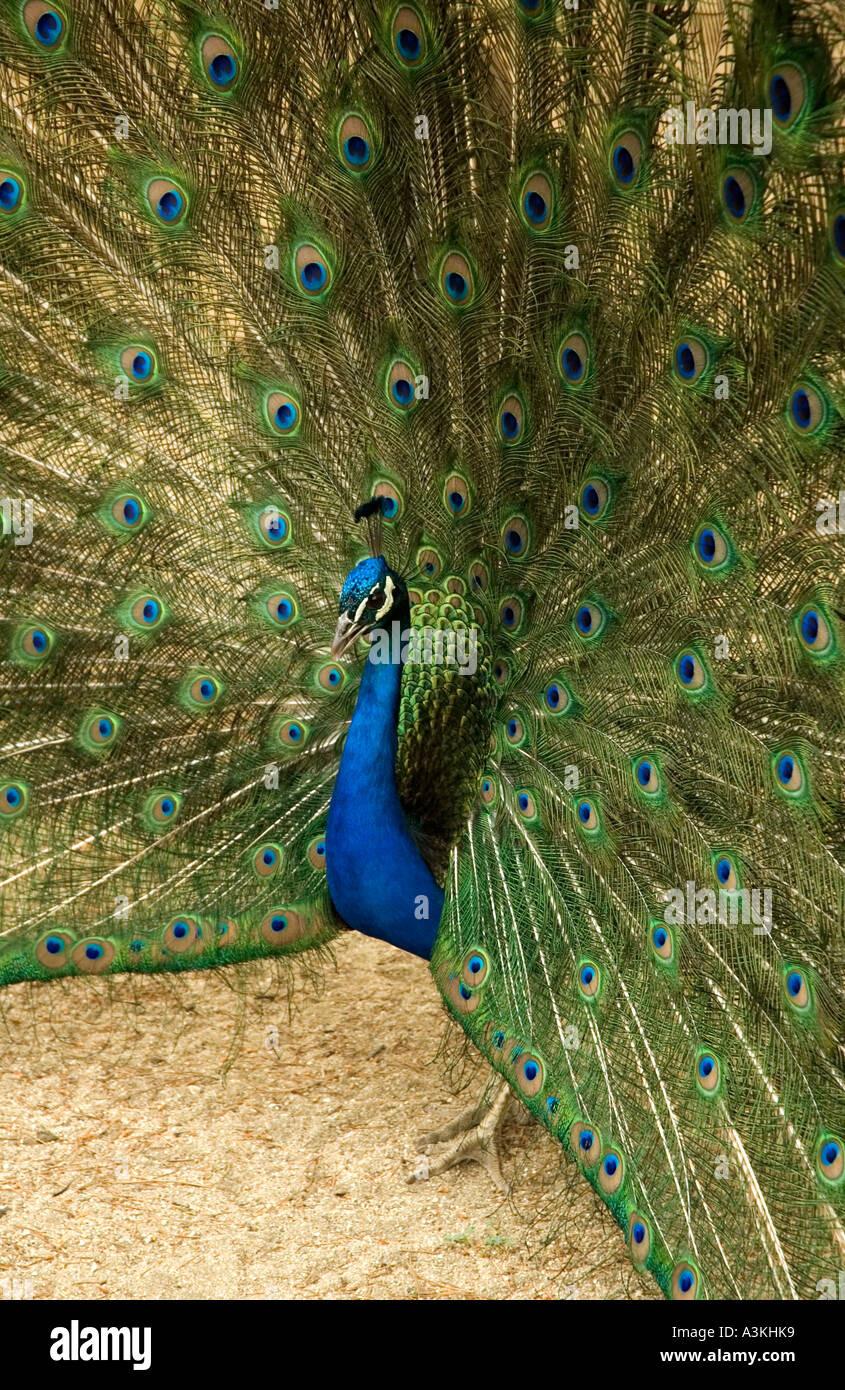 Close up of a peacock displaying its feathers in el Parque del Buen Retiro Madrid Spain Europe Stock Photo