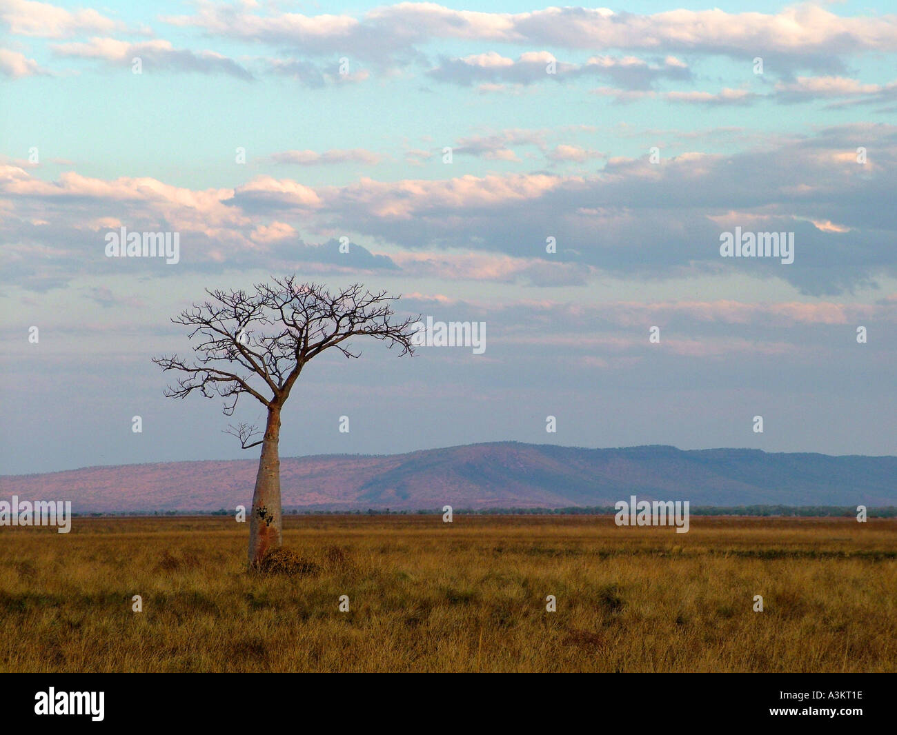 Lonesome tree outback Australia - Stock Image