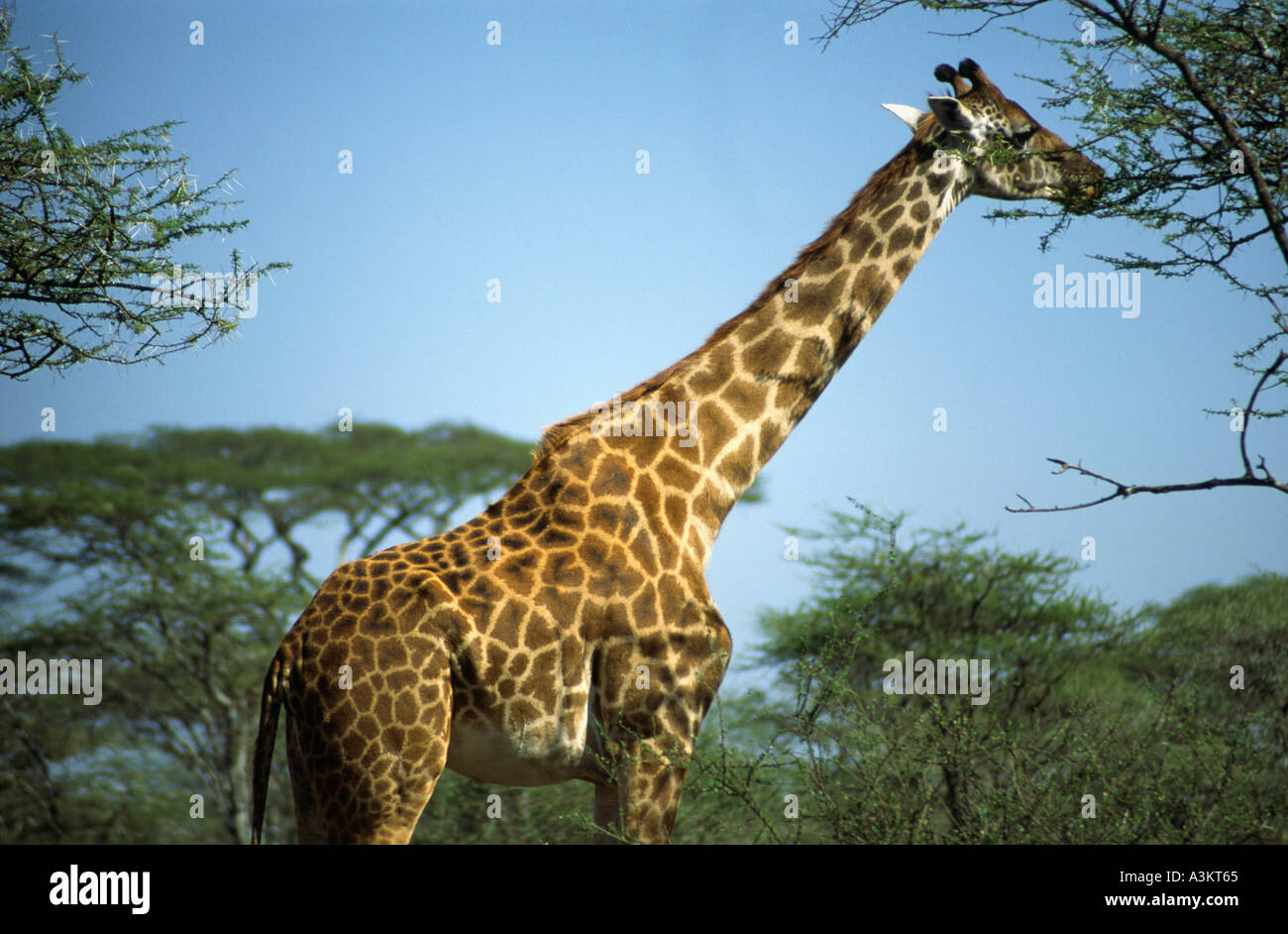 a giraffe in the Serengetti National Park, Tanzania - Stock Image
