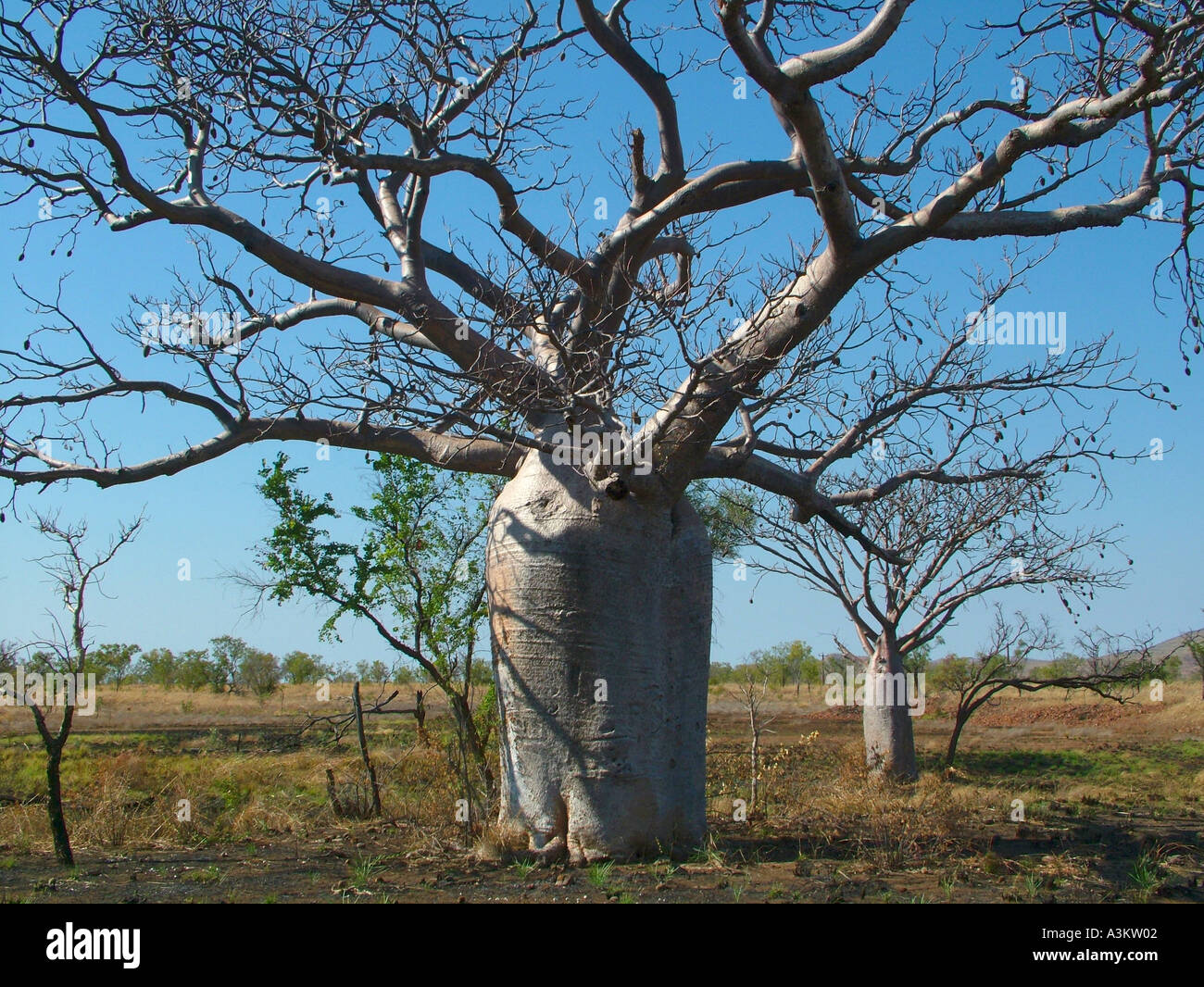Boab trees in Kimberly Australia related to the African Boab - Stock Image