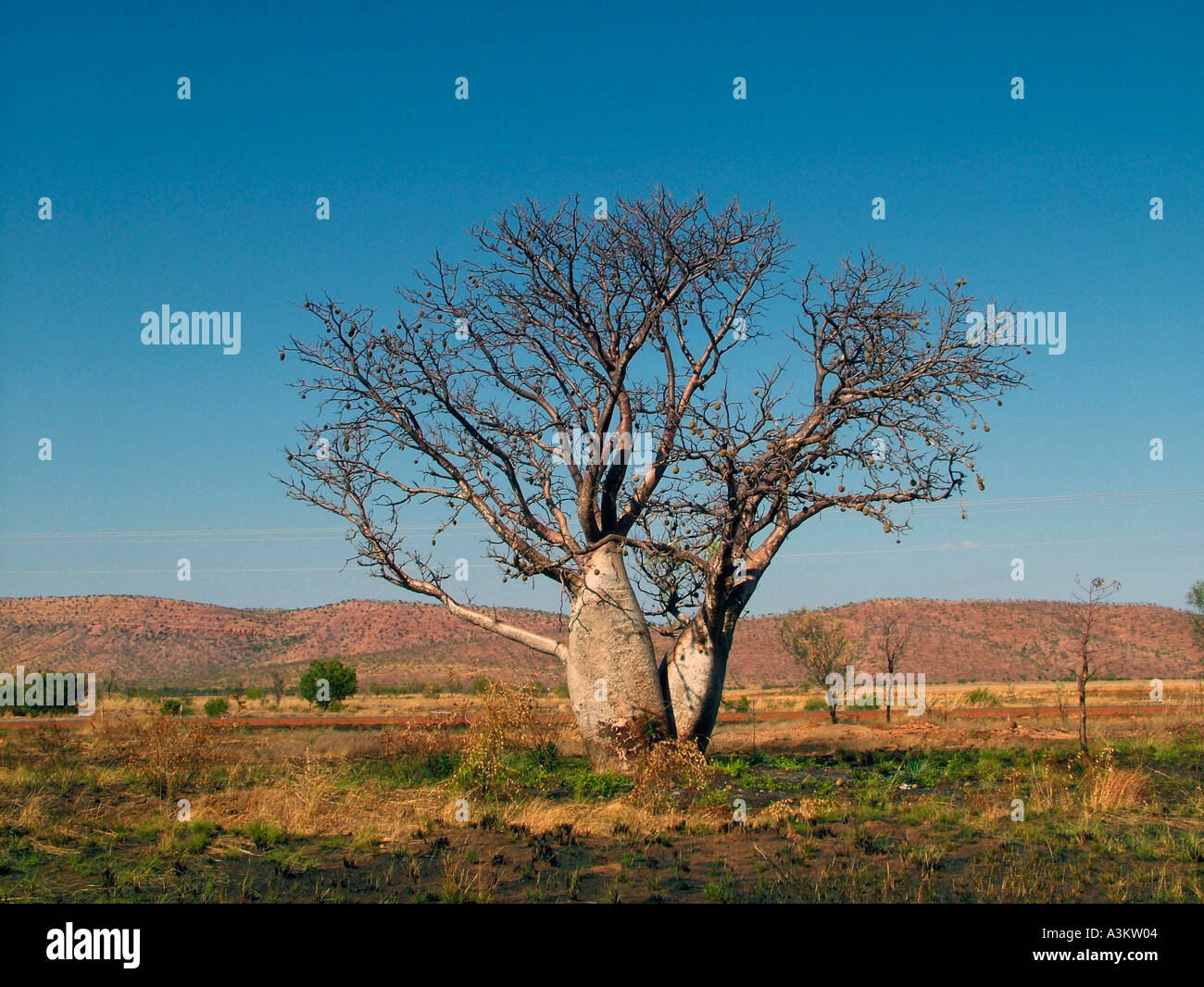 Boab tree in Kimberly Australia related to the African Boab - Stock Image