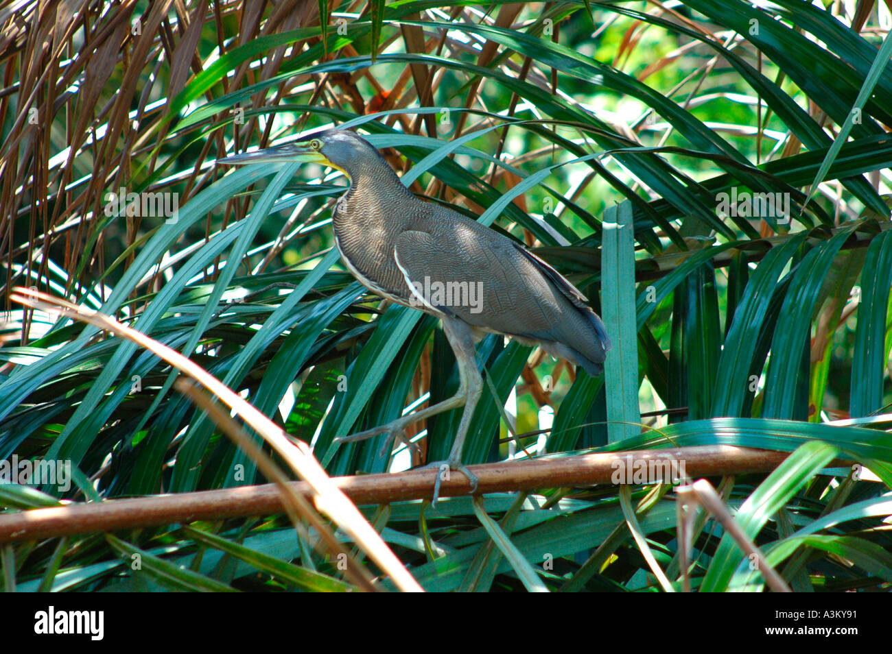 Bare throated Tiger-Heron in Tortuguero National Park, Costa Rica, Central America - Stock Image