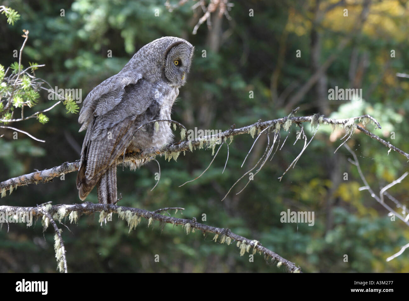 Great Gray Owl Strix nebulosa Grand Teton Nat Pk USA - Stock Image